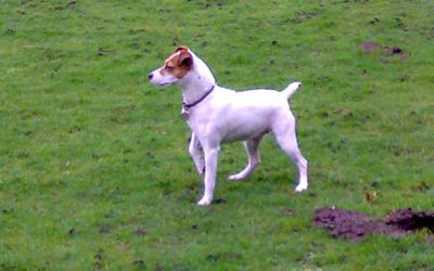 Holly the Jack Russell Terrier